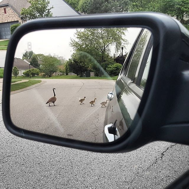 Goslings in mirror are closer than they appear.